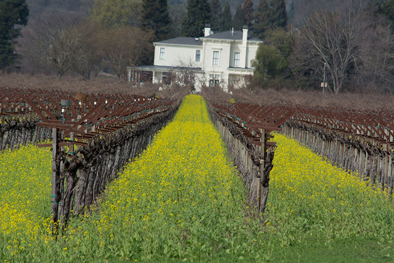 House at the end of a napa valley vineyard covered in mustard flower